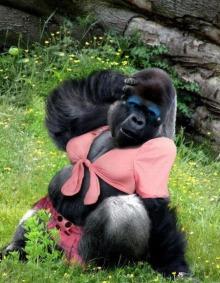 Funny Gorilla1